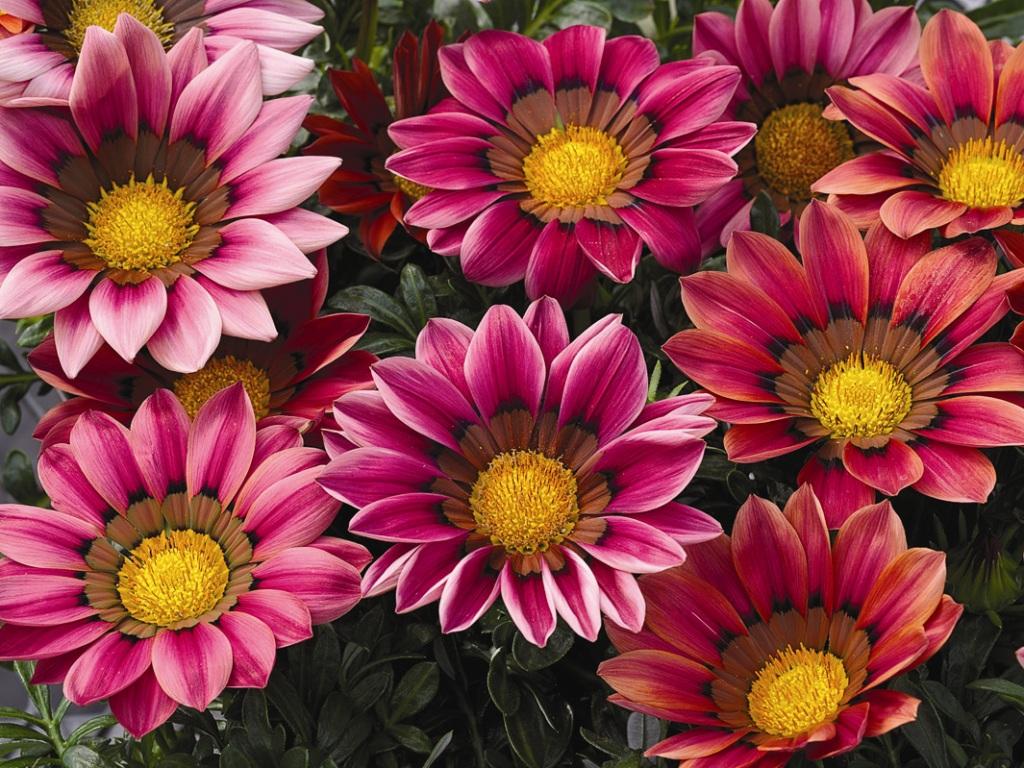 Гацания цветы с