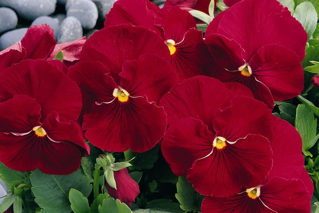 Цветок виола сорта