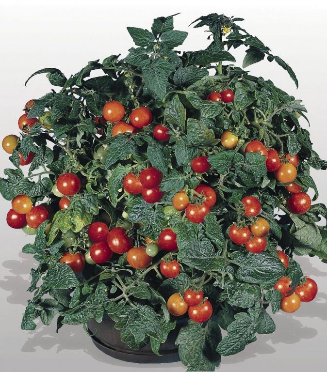 Декоративный помидоры в горшке