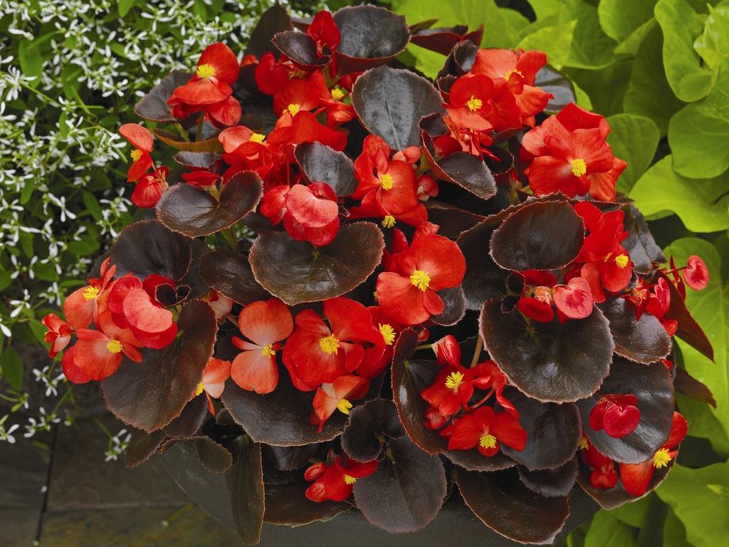<b>Бегония вечноцветущая (бронзовая</b> листва) (Begonia ...