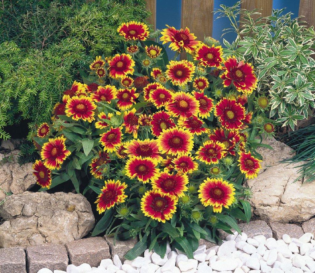 Сорта многолетних цветов описание и фото
