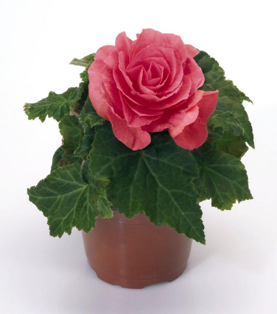 Бегония махровая розовая уход выращивание 85