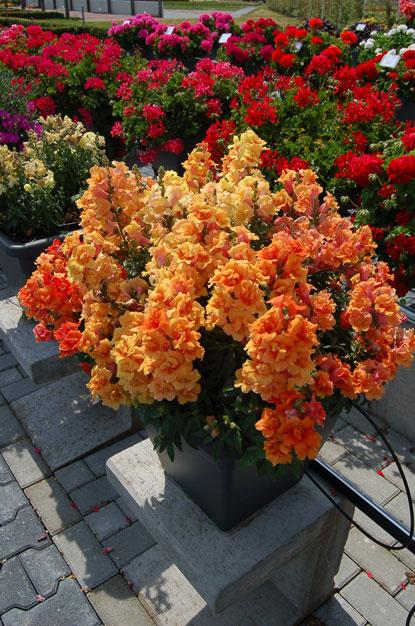 100% hakiki! yeni bahçe tesisi 100 adet taze renkli tropaeolum majus nasturtium tohumları kolay dikim çiçek asılı