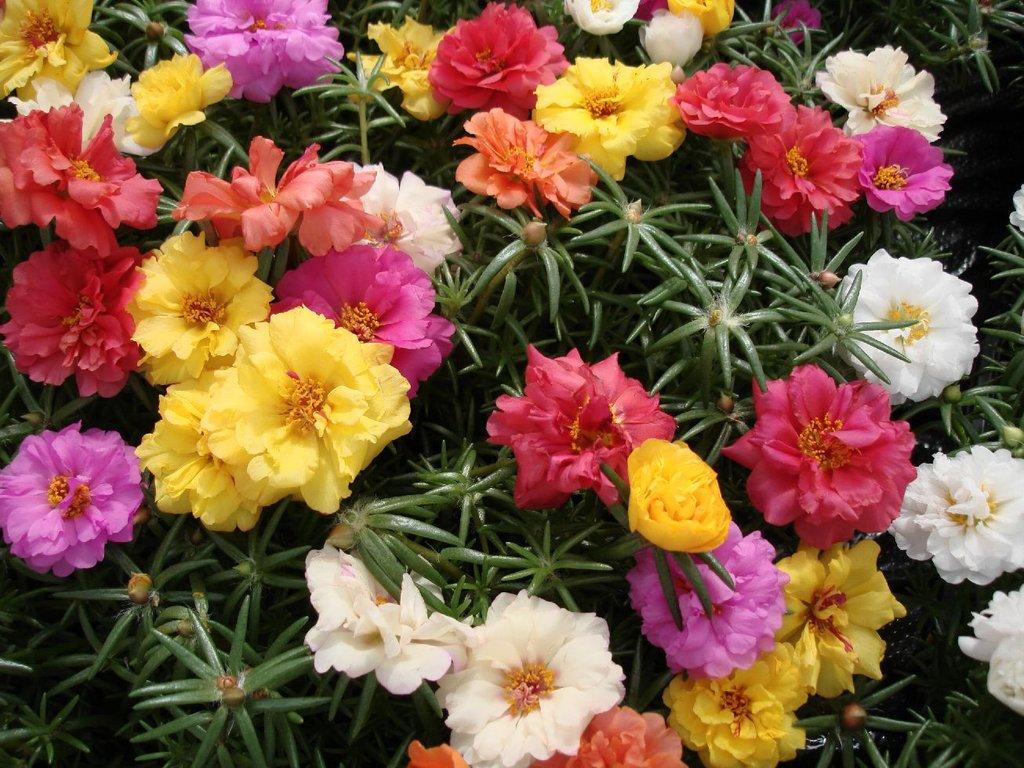 Партулак цветы