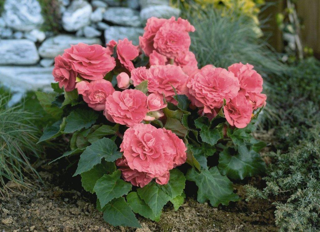 Бегония махровая розовая уход выращивание